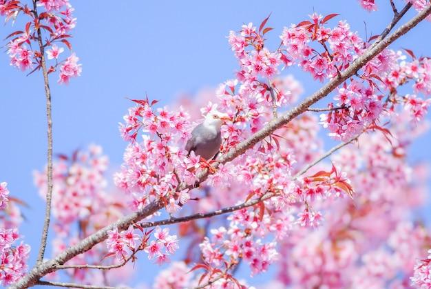 白向かったヒヨドリ鳥とピンクの桜