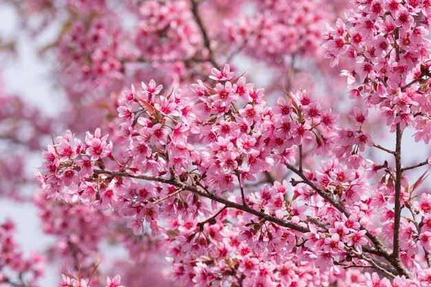 봄에 꽃이 만발한 분홍색 벚꽃