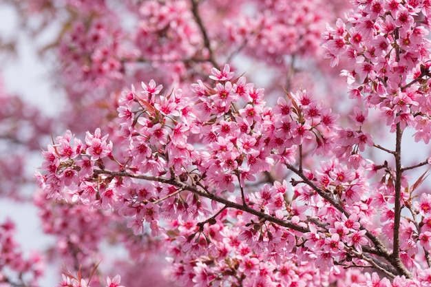 Pink cherry flowers blossoming in springtime