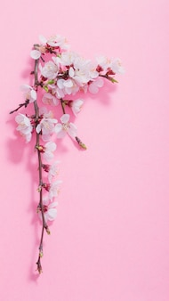 Pink cherry flowers on pink background