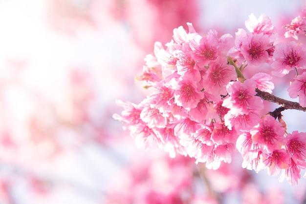 Розовые цветы вишневого дерева, цветущие весной, в пасхальное время на фоне естественного солнечного размытого гар