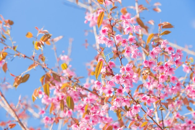 Pink cherry tree blossom flowers blooming in spring easter time against a natural sunny blurred