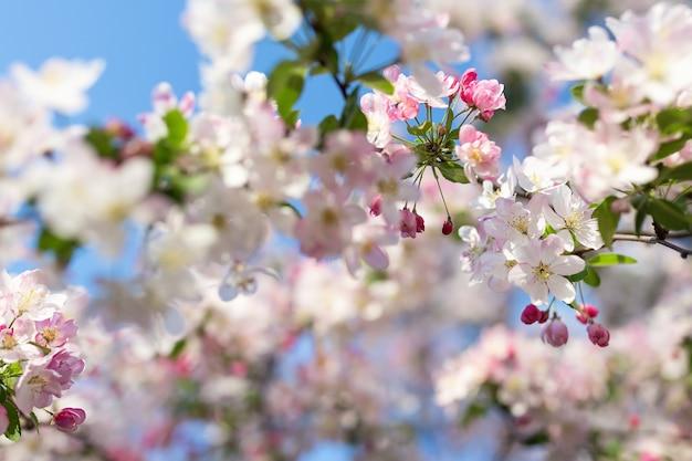 Розовый цвет вишни на размытом
