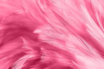 Pink chicken feathers in soft and blur style for the background