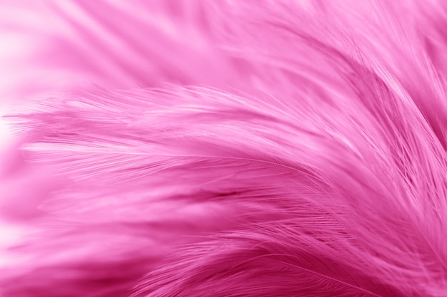Pink chicken feathers in soft and blur style for background