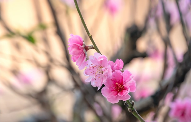 Pink chinese plum flower