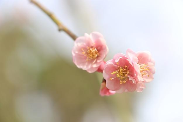 Pink chinese plum.