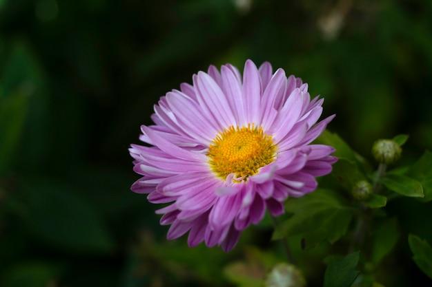 ピンクの菊、ママまたは菊とも呼ばれます