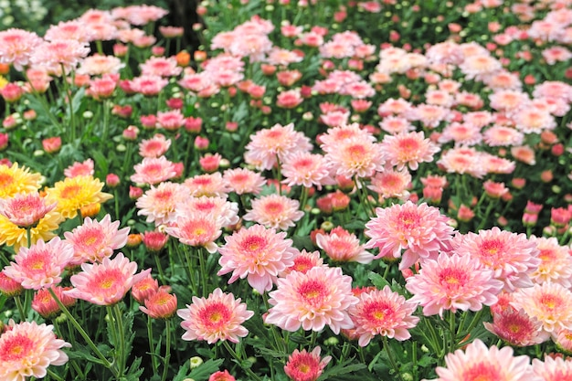 Pink chrysanthemum flower bloom beautiful, flower in garden