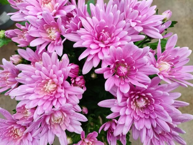 꽃밭이나 온실에 분홍색 국화 꽃이 핀다.