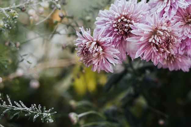Pink chrysanthemum flowers covered with hoarfrost