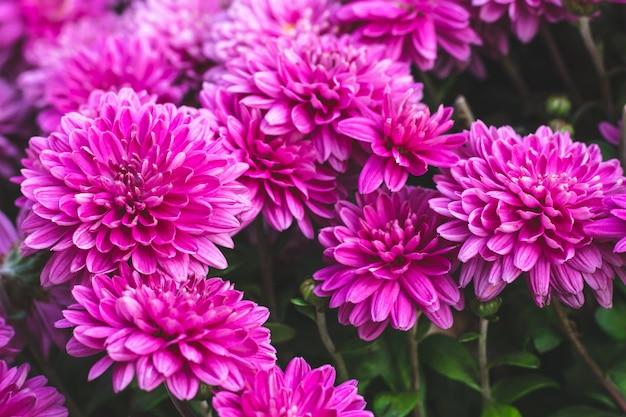 ピンクの菊の花。花の背景。花の自然のパターン。