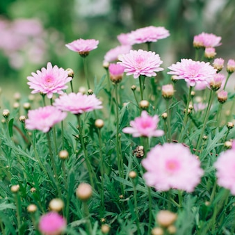Pink chrysanthemum growing on meadow