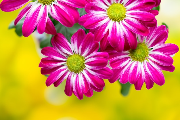 Розовая хризантема на желтой природе.