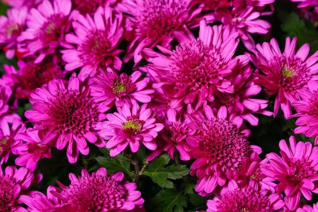 Pink chrysanthemum plant on green chrysanthemum annual flowers branch a bush of small bright pink fl...