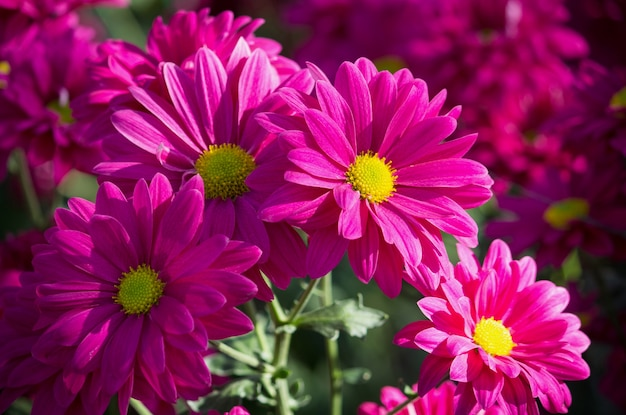 Pink chrysanthemums daisy flower