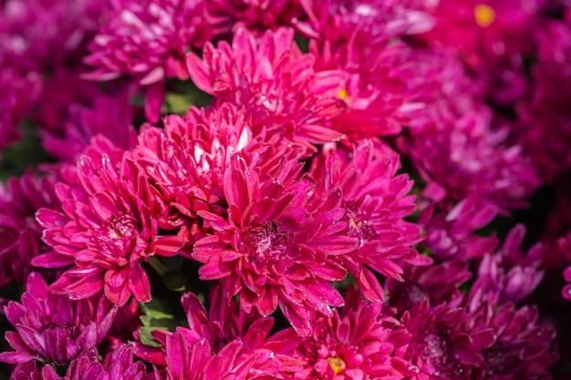 ピンクの菊は春の日に庭に咲きます