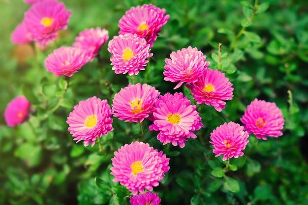 Розовые хризантемы в саду