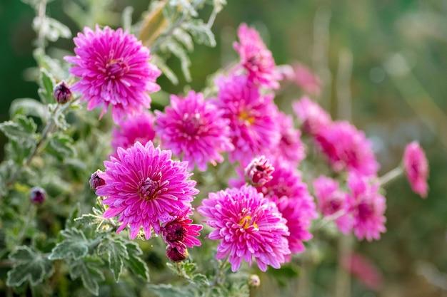 庭のピンクの菊。霜で覆われた菊の花