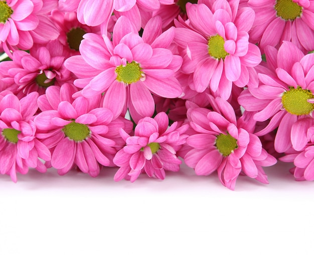 Pink chrysanthemums over white