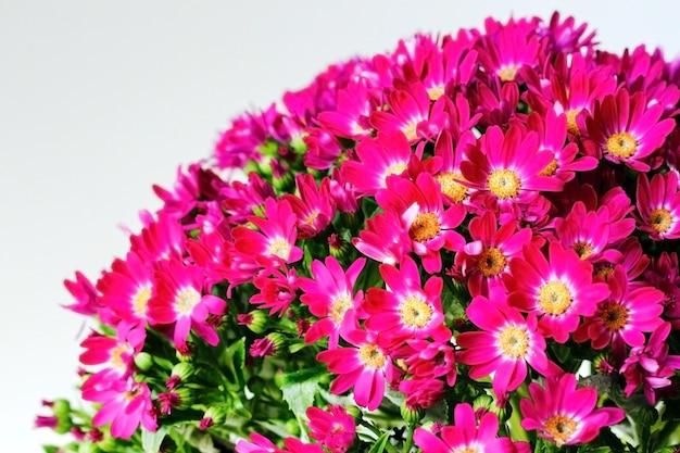 Розовые цветы цинерарии с зелеными листьями