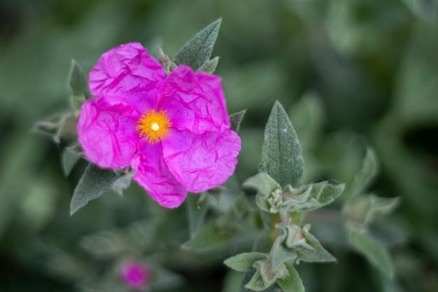 Pink cistus цветет в саду в западном суссексе
