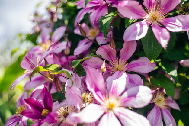 Pink clematis blooming flowers