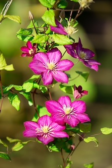 Pink clematis on a green