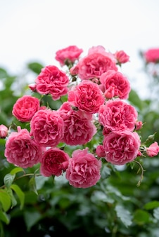 Pink climbing rose bushes in the garden