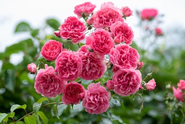 Кусты розовых плетистых роз в саду