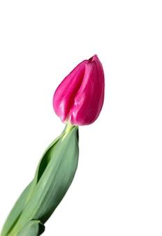 ピンク。白い背景に分離された美しい新鮮なチューリップのクローズ アップ。広告用の copyspace。オーガニック、フラワー、春のムード、花びらや葉の優しく深みのある色。壮麗で荘厳。