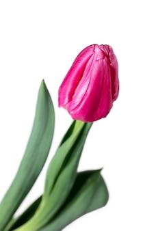 ピンク。白い背景で隔離の美しい新鮮なチューリップのクローズアップ。