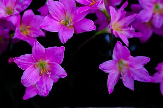 ピンク色の雨ユリの花が雨の季節にテキスト用のスペースと暗い背景に咲きます。