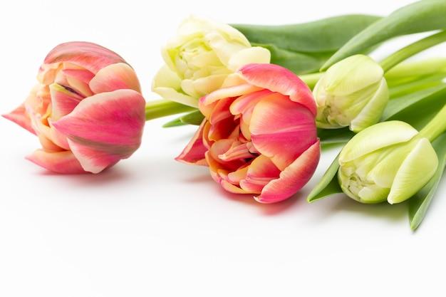 白い背景の上のピンク色のチューリップ。春のグリーティングカード。レトロなヴィンテージスタイル。
