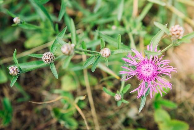 夏の草原にピンクのコーンフラワー