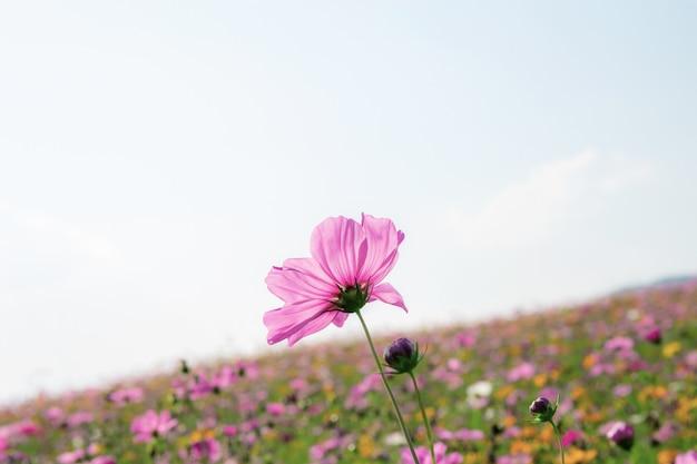 空にピンクのコスモス。