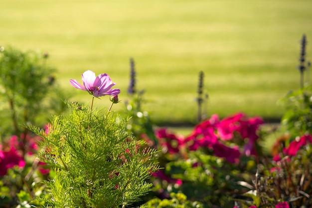 ピンクコスモスbipinnatus、ガーデンコスモスまたはメキシカンアスターと呼ばれます。庭で日光の下でコスモスの花。野に咲くピンクのコスモスの花。ヴィンテージ調。夏の時間。