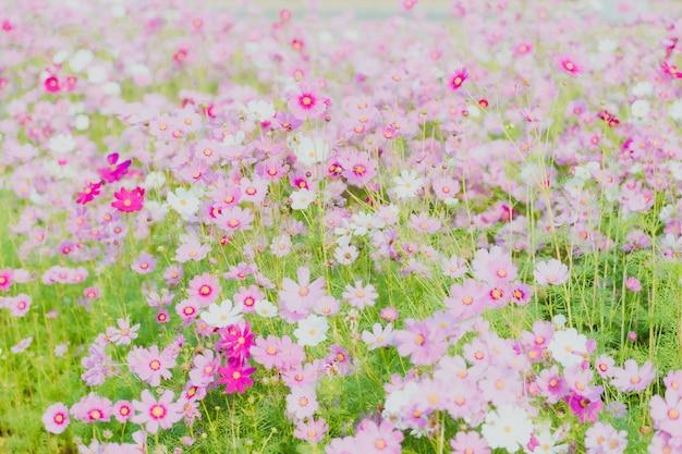 정원에 피는 핑크 코스모스