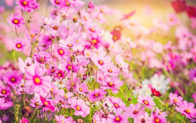 庭に咲くピンクのコスモスが美しい