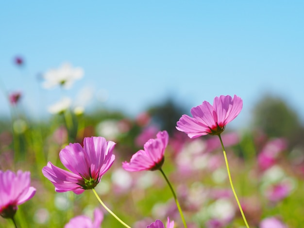 Pink cosmos blooming over clear blue sky