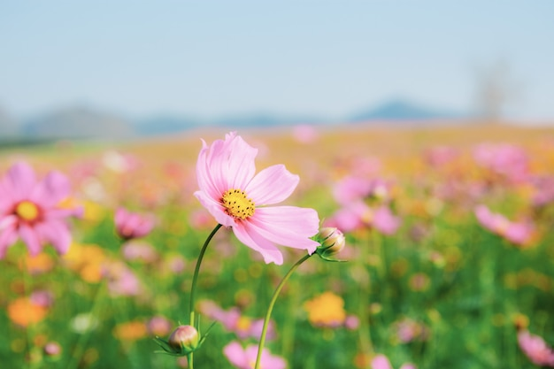 Pink cosmos in field.