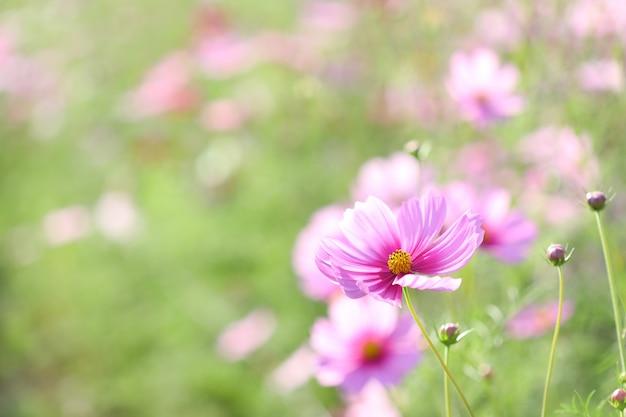 フラワーガーデンに咲くピンクのコスモス