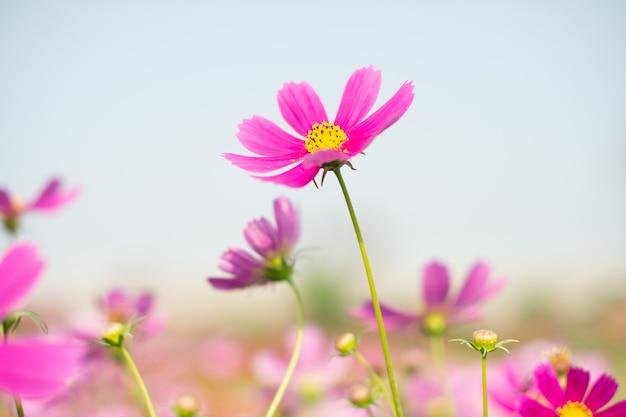 野に咲くピンクのコスモスの花、ヴィンテージ調