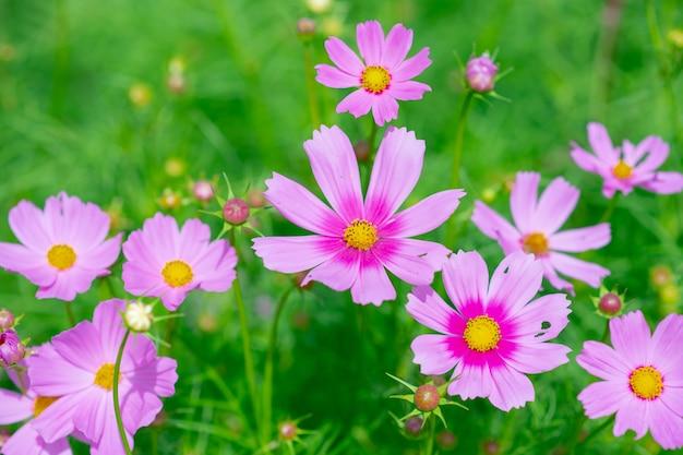 野に咲くピンクのコスモスの花。