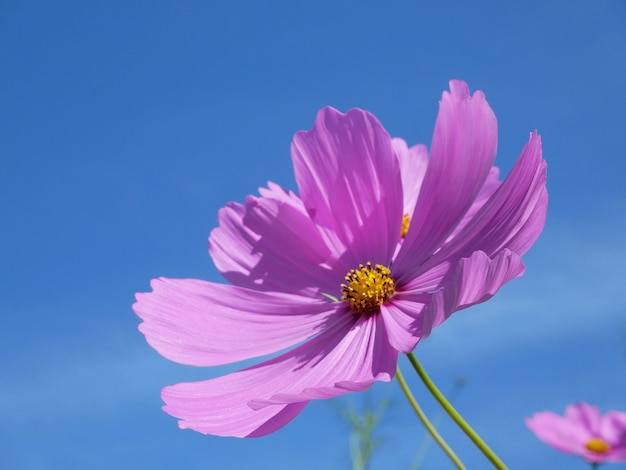 Розовый космос цветок цвести