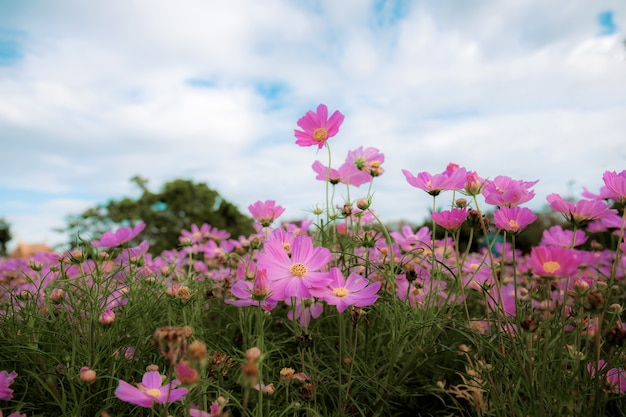 Pink of cosmos flower on field in the winter with the sky.