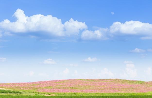 青い空とピンクのコスモス畑