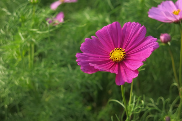 A pink cosmos flower in full bloom and its green leaves in the garden