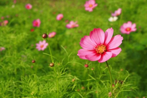 庭でピンクのコスモスの花