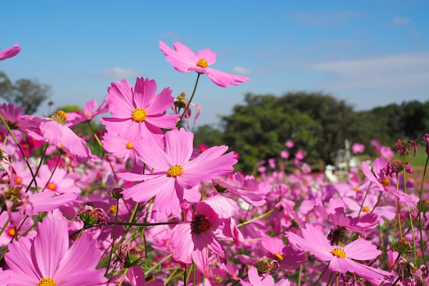 Pink cosmos flower with green leaves in field  background